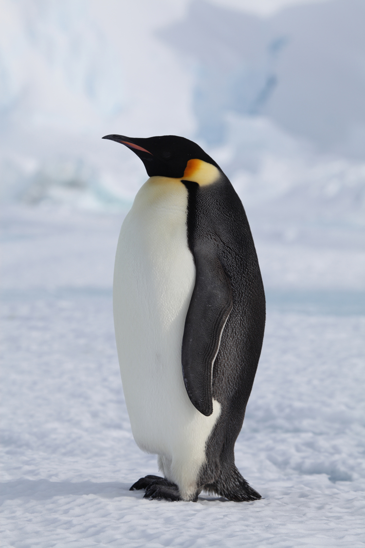 4244294-penguin